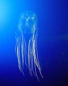 Avoid the Sting of Death, Jellyfish