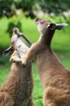 Church Discipline Like Two Kangaros Fighting